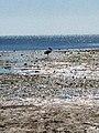 Wellington Point Island Pelican (9754747576).jpg