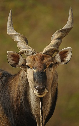Giant eland - Giant elands have tightly spiraled, V-shaped horns
