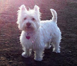 Westie in a park