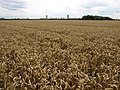 Wheat Field - geograph.org.uk - 912198.jpg