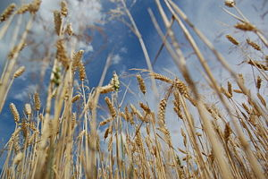 Picture of wheat from Czech republik