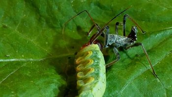 File:Wheel bug assassin bug vs. silver-spotted skipper caterpillar.webm