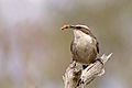White-browed Babbler (Pomatostomus superciliosus) (19582361810).jpg