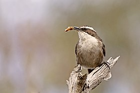 White-browed Babbler (Pomatostomus superciliosus) (19582361810).jpg