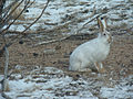 White-tailed Jack Rabbit (8456491964).jpg