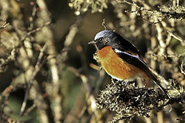 White-throated Redstart.jpg