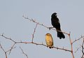 White-winged widowbird, Euplectes albonotatus, at Zaagkuildrift Road near Kgomo Kgomo, Limpopo, South Africa (31433184012).jpg