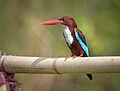 White -throated kingfisher (26350306594).jpg