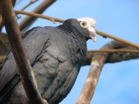 White Crowned Pigeon 002