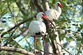 White Ibis in tree, NPSphotos (9103743566).jpg