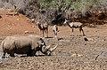 White Rhino (Ceratotherium simum) male, Kudus females and Warthog at waterhole ... (50218004382).jpg