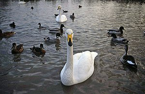 Type species - Cygnus cygnus, the whooper swan, is the type species of the genus Cygnus.