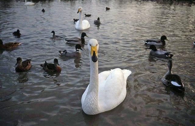 Whooper Swan - geograph.org.uk - 1370869