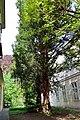 Wien-Hietzing - Naturdenkmal 446 - Eibe (Taxus baccata).jpg