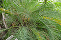 Wild Date Palm (Phoenix reclinata) (16785687405).jpg