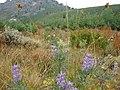 Wild Flower around Angel Lake Wells NV - panoramio.jpg