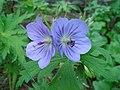 Wild Geraniums DSC02394.JPG