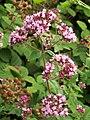 Wild Marjoram (Origanum vulgare) (4897791716).jpg