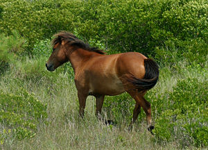 Chincoteague Pony - A bay pony from the Maryland herd among the plants which make up its diet