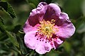 Wild rose Rosa woodsii closeup.jpg
