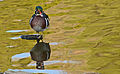 Wood Duck front view (Aix sponsa).jpg