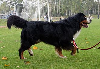 Bernese Mountain Dog - Bernese Mountain Dog