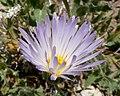 Xylorhiza tortifolia flower 1.jpg