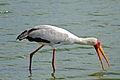 Yellow-billed Stork (Mycteria ibis) (16518005131).jpg