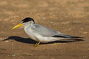 Yellow-billed tern Sternula superciliaris.jpg