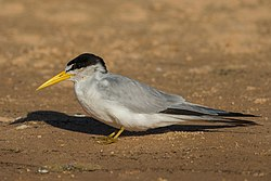 Yellow-billed tern Sternula superciliaris.jpg