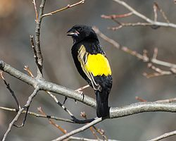 Yellow Bishop (Euplectes capensis) (28458186644).jpg