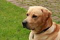 Yellow Labrador (2754018203).jpg