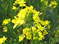 Yellow mustard flower.jpg