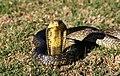 Young forest cobra (Naja melanoleuca).jpg