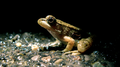 Young green frog (5992376763).png