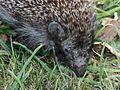 Young hedgehog 02.jpg