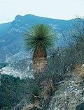 Yucca queretaroensis fh 0335 MEX B.jpg