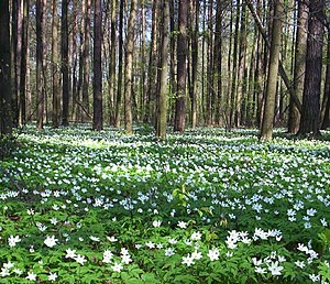 Grove (nature) - A grove near Radziejowice, Poland.