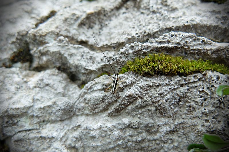 Şəkil:Zebra-grasshopper in the Triglav national park, slovenia. (14066846029).jpg