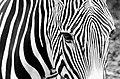 Zebra - Flickr - Stiller Beobachter (1).jpg
