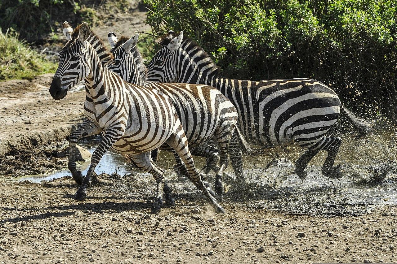 File Zebra Are Seen Running At The Serengeti National Park
