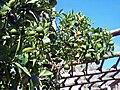 Zitronenpflanze im historischen Treibhaus in Limone.JPG