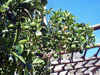 Province of Brescia - A lemon tree in Limone sul Garda. The mild climate of Lake Garda allows the cultivation of Mediterranean plants