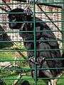 Zoo Landau Ateles fusciceps.JPG