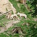 Zoo Tábor-Větrovy, vlk 02.jpg