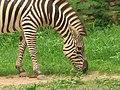 Zooming Zebra.jpg