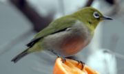 Japanese White-eye, a common winter visitor