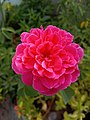 """""""Rose flower.jpg"""