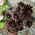 'Aeonium arboreum' at the Cactus House in Victorian Garden Quex House Birchington Kent England.jpg