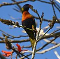 (1)Rainbow Lorikeet-1abc.jpg